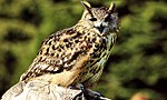 Owl - Leeds Castle (17265165486).jpg