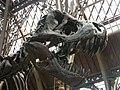 """Oxford-University-Museum-of-Natural-History - cast-of-specimen-BHI-3033-""""Stan"""" - Skull-detail.jpg"""