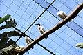 Pájara La Lajita - Oasis Park - Threskiornis aethiopicus 01 ies.jpg