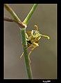 PN del Garraf - Avispa comiéndose una araña 02 - Vasp eating a spider (3984734385).jpg