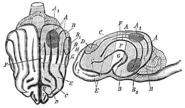 PSM V25 D628 Brain of a dog and diagram of munk.jpg