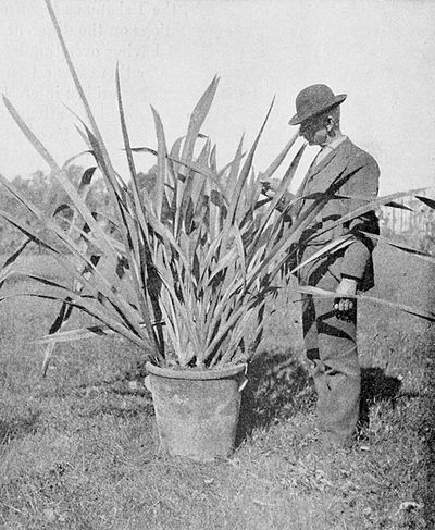 PSM V54 D038 Plant of new zealand flax.jpg