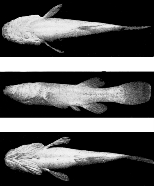 PSM V57 D061 Three views of amblyopsys.png