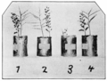 PSM V67 D691 Differently watered seedlings of palo verde.png