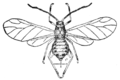 PSM V76 D227 Winged plant louse.png