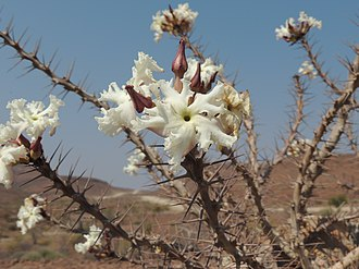 Pachypodium lealii - Image: Pachypodium lealii 3