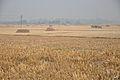 Paddy Field after Harvest - Birahi - Nadia 2014-11-28 9915.JPG