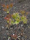 Paeonia lutea 2016-04-19 7662.jpg
