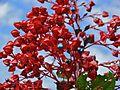 Pagoda Plant (Clerodendrum paniculatum) (8414165435).jpg