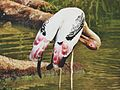 Painted Stork in Vizag.jpg
