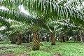 Palmiers à huile à Ribeira Peixe (São Tomé) (2).jpg