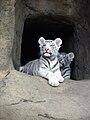 Pantera tigris alba 01.jpg