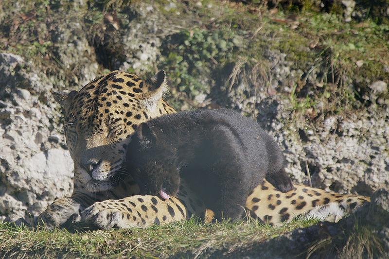 File:Panthera onca zoo Salzburg 2009 16.jpg