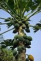 Papaya BW 1.jpg