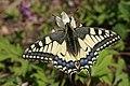 Papilio machaon (9487969492).jpg