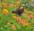 Papilio troilus (9623801756) (2).jpg