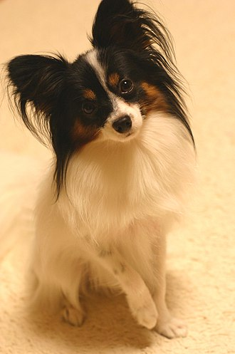 Papillon dog - Papillon sitting