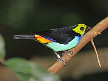 Paradise Tanager Woodland Parks Zoo RWD.jpg
