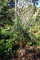 Parajubaea torallyi - San Francisco Botanical Garden - DSC09839.JPG