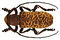 Paranaleptes reticulata (Thomson, 1877) female (5360527590).jpg