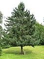 Parc Fenestre (Picea balfouriana).jpg
