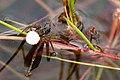 Pardosa.agricola.female.with.egg.sac.jpg