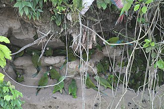 Ara (genus) - Chestnut-fronted macaws, mealy amazons, and dusky-headed parakeets at a clay lick in Ecuador
