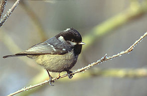 Tannenmeise (Periparus ater)