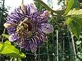 Passiflora 'Fata Confetto'.jpg