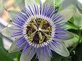 Passion Flower 2nd bud II.jpg