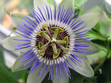 Passion Flower 2nd bud II.jpg