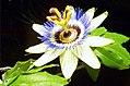 Passionsblume - Collage der Blütenöffnung (8).jpg