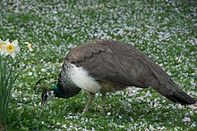 220px-Pavo_cristatus_-Tierpark_Hagenbeck%2C_Hamburg%2C_Germany_-female-8a_%281%29.jpg