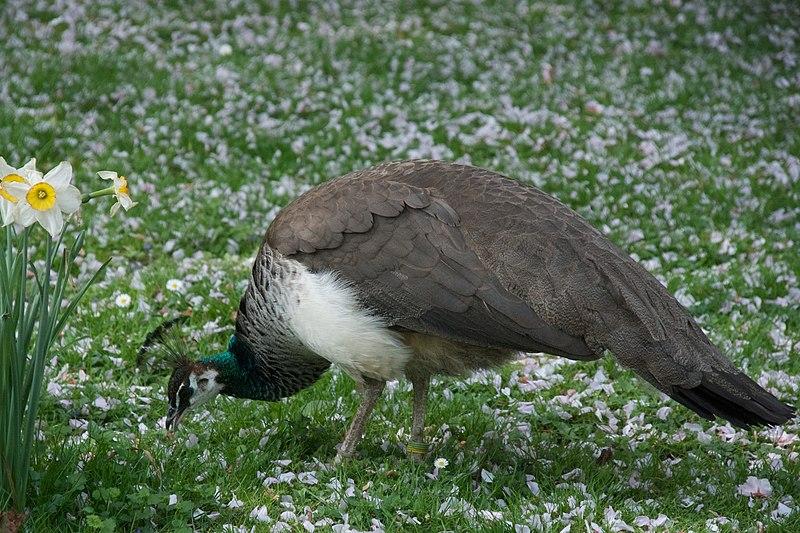 File:Pavo cristatus -Tierpark Hagenbeck, Hamburg, Germany -female-8a (1).jpg