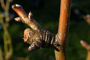 Taille des arbres fruitiers wikimonde - Taille des arbres fruitiers a noyaux ...
