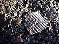 Pecquencourt - Fosse Barrois, fossile trouvé sur le carreau.JPG
