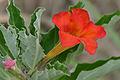Pedaliaceae (Pterodiscus elliottii) red flower (17419873245).jpg