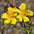 Peelbark St. Johns-wort (Hypericum fasciculatum) (6439017119).jpg