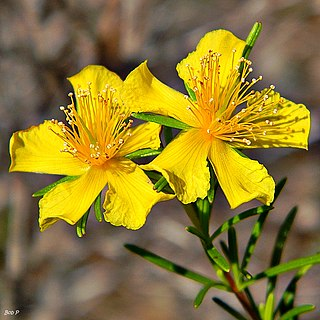 <i>Hypericum fasciculatum</i> Species of flowering plant in the St Johns wort family Hypericaceae