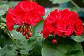 Pelargonija rdeča.jpg