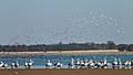 Pelicans and Stilts (24212718623).jpg