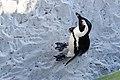Penguins at Boulders Beach, Cape Town (11).jpg