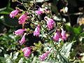 Penstemon richardsonii (10206936545).jpg