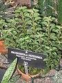 Peperomia pruinosifolia - Gaiser Conservatory (Manito Park) - IMG 7017.JPG