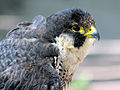 Peregrine Falcon RWD.jpg