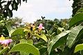 Pereskia grandifolia 39zz.jpg