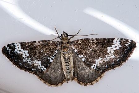 Perizoma alchemillata, Lodz(Poland)01(js).jpg