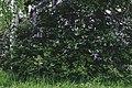 PermaLiv søndre syrin 10-06-20.jpg