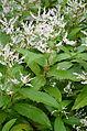 Persicaria wallichii 20111008 115655.JPG