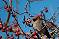 Pestvogel (15949231744).jpg